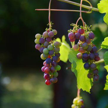 Weinregion rund um den Murtensee